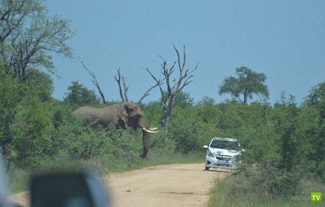 Южноафриканский слон перевернул автомобиль с людьми (11 фото)