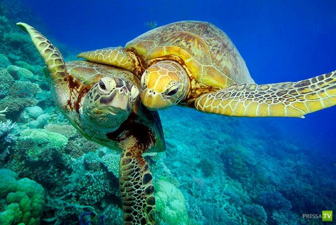 Исчезающий вид: Зелёные черепахи на Большом Барьерном рифе ... (10 фото)