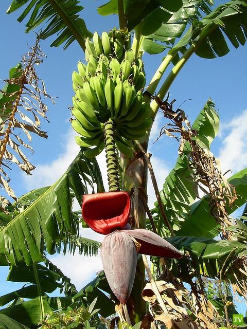 Как растут экзотические фрукты (16 фото)