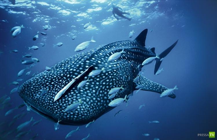 Китовая акула - самая большая рыба в мире (15 фото)
