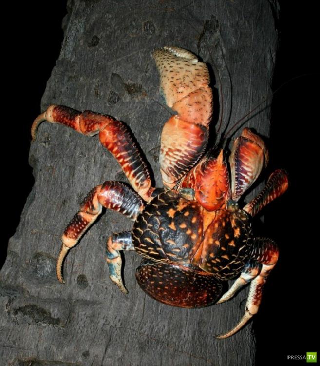 Самый крупный представитель членистоногих - кокосовый краб (17 фото)