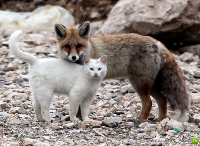 Настоящая дружба между лисенком и котенком (5 фото)