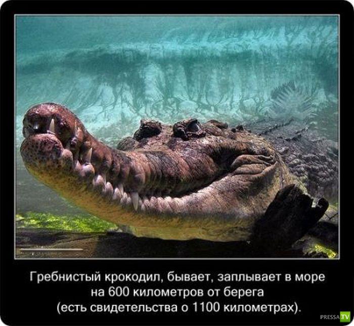 Самое интересное ... о крокодилах (22 фото)