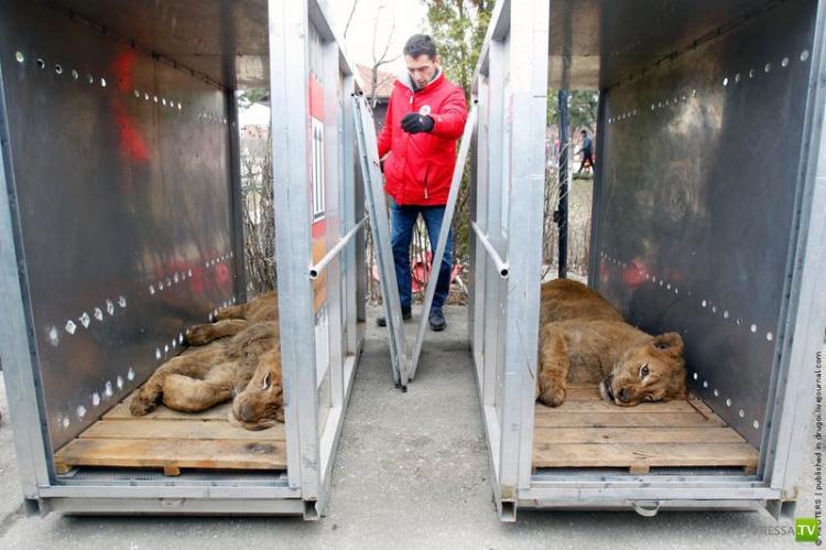 Полиция забрала четырех львов и двух медведей из частного зоопарка криминального авторитета (9 фото)