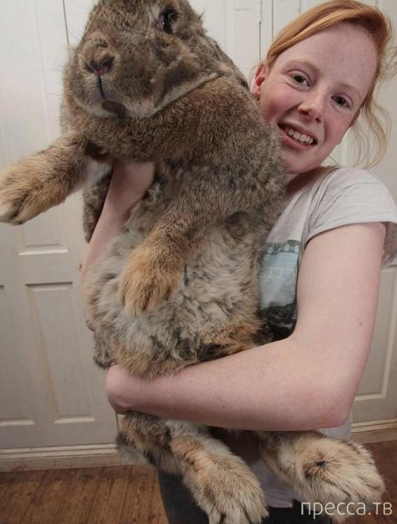 Ральф - самый большой кролик в мире (4 фото)