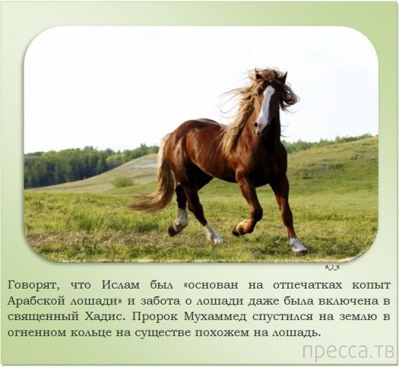 Интересные факты о лошадях (24 фото)