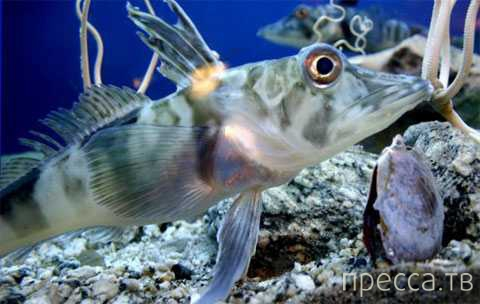 Рыба с прозрачной кровью стала очередной головоломкой для ученых ... (3 фото + видео)