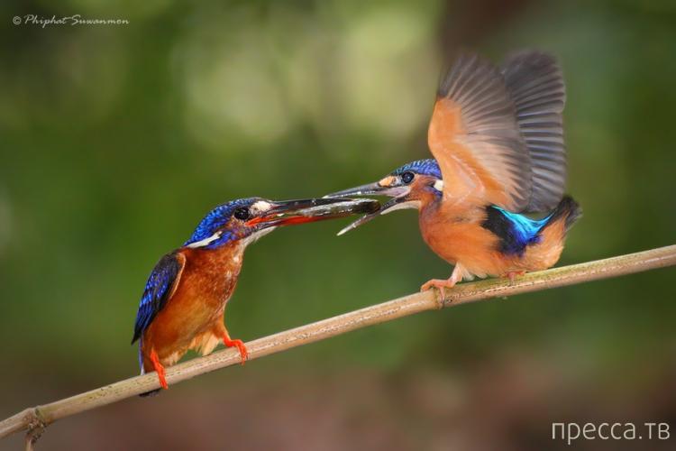 Редчайшие кадры рыбалки голубого зимородка (13 фото)
