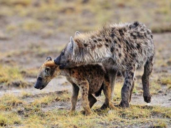 Гомосексуальность в животном мире (10 фото)