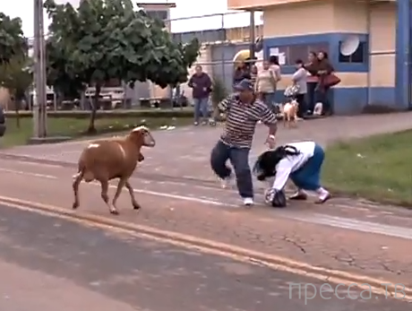 Агрессивная овца на бразильской дороге...