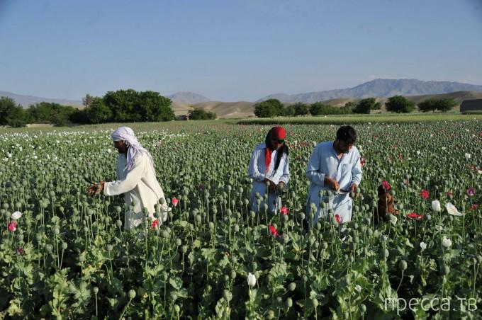 Сбор опия в Афганистане (6 фото)