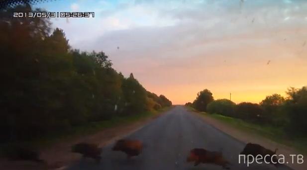 Встретил на дороге стадо кабанов, одного сбил... ДТП на трассе Вязьма-Зубцов