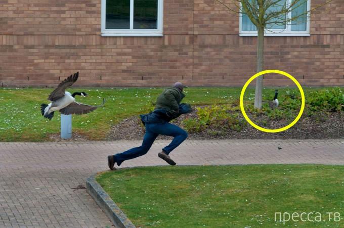 Гусь терроризировал студентов Уорикского университета в Великобритании! (8 фото)