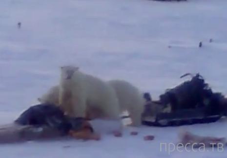 Как оленевод прогнал белых медведей...
