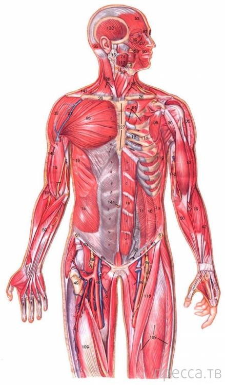 Интересные факты о человеческом теле (12 фото)