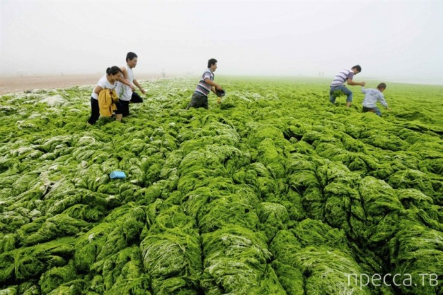 Нашествие зеленых водорослей в Китае (5 фото)