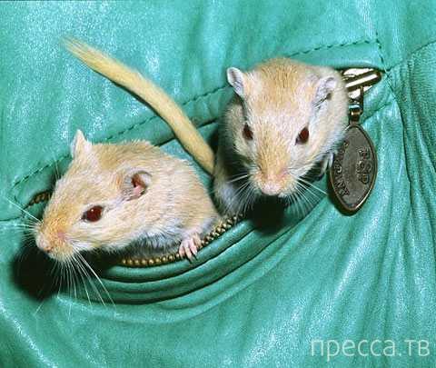 Стюардесса перевозила в своих трусах крыс ... (2 фото)