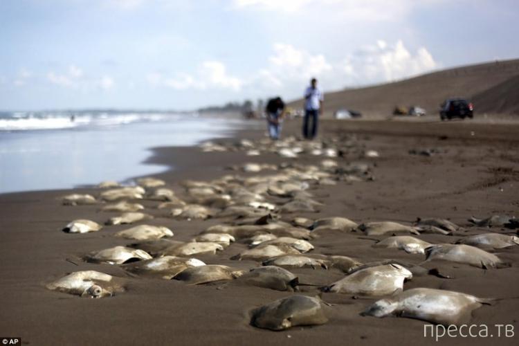 На берегу Мексиканского залива были обнаружены более 250 туш электрических скатов (4 фото)