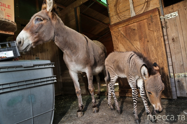 Что получится, если скрестить зебру с ослом? (9 фото)
