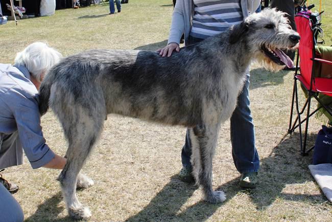 Топ 10: Самые крупные породы собак в мире (11 фото)