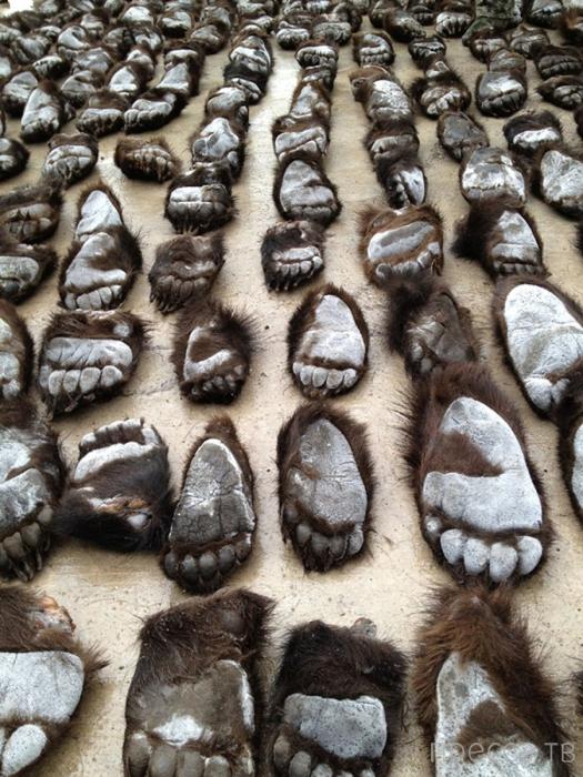 Контрабанда медвежьих лап из России (5 фото)