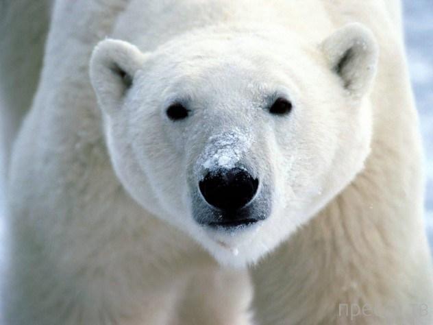 Необычные факты о белых медведях ...