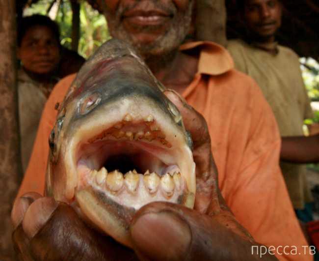 Рыба паку - кастрирующая купальщиков, теперь и в Европе (3 фото)