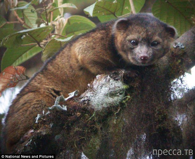 Ученые Америки обнаружили новое млекопитающее - олинтиго (2 фото)