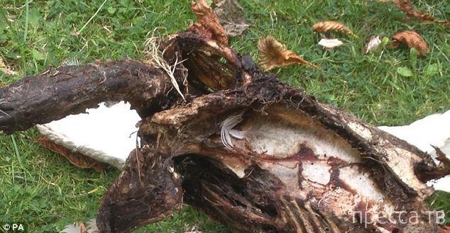 Преступники зажарили лебедя королевы Елизаветы Второй (2 фото)
