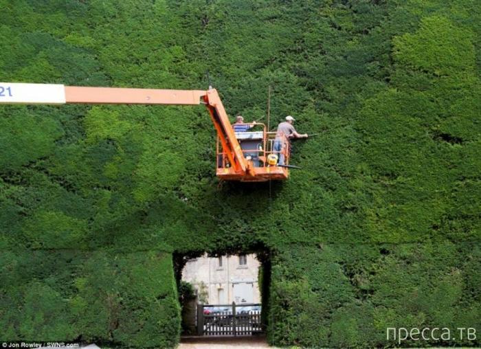 Стрижка трёхсотлетних деревьев (7 фото)