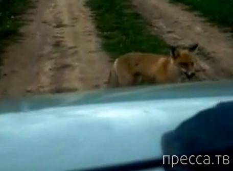 Нападение бешеной лисы...