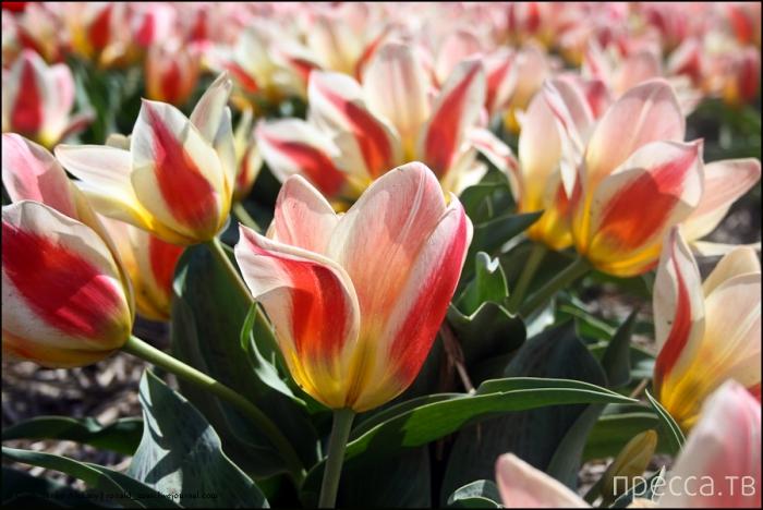 Нидерланды. Амстердам. Keukenhof или как окунуться в море тюльпанов (21 фото)
