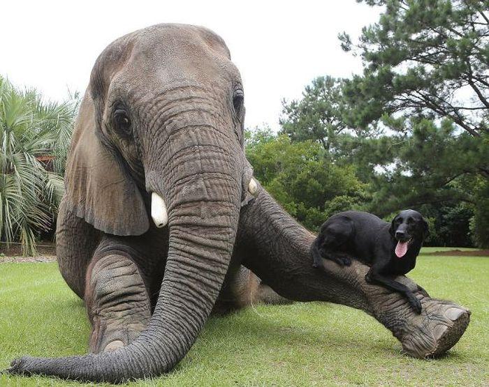 Лучшие друзья: слон и черный лабрадор (9 фото)