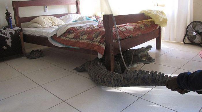 Крокодил под кроватью... (8 фото)