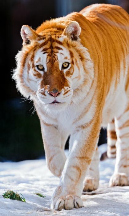 Золотой тигр (6 фото)