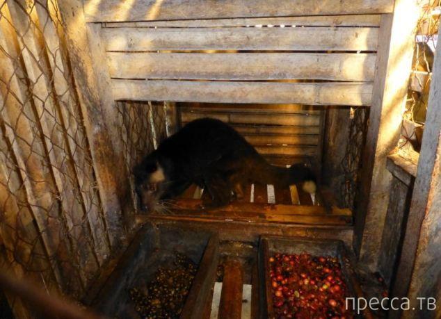 Мусанги гадят дорогущим кофе в адских условиях (10 фото)