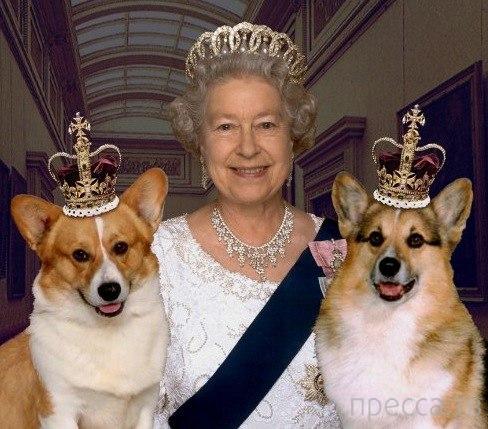 Специальная диета для королевских собачек корги (5 фото)