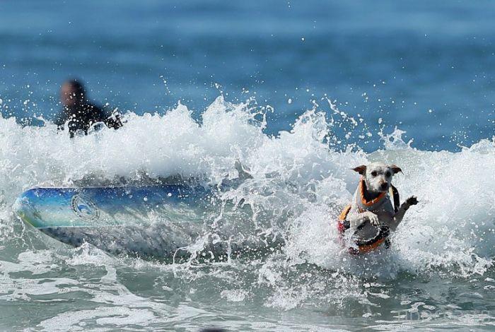 Чемпионат по собачьему серфингу (18 фото)