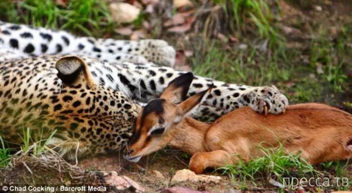 Леопард и импала  (9 фото)