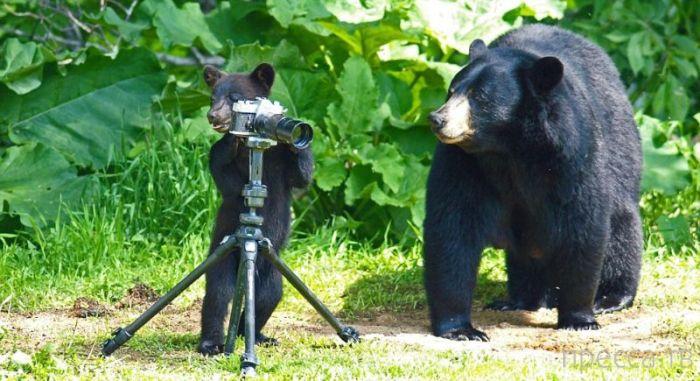 Потрясающая фотосессия с любопытными и играющими медведями от фотографа Пола Сира (15 фото)