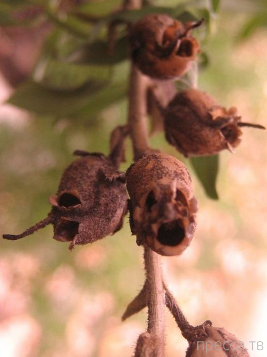 Неожиданно: красивые цветочки - львиный зев, когда отцветают навевают ужас (7 фото)