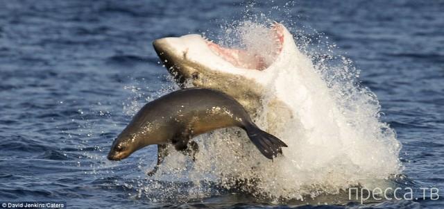 Погоня белой акулы за морским котиком (15 фото)