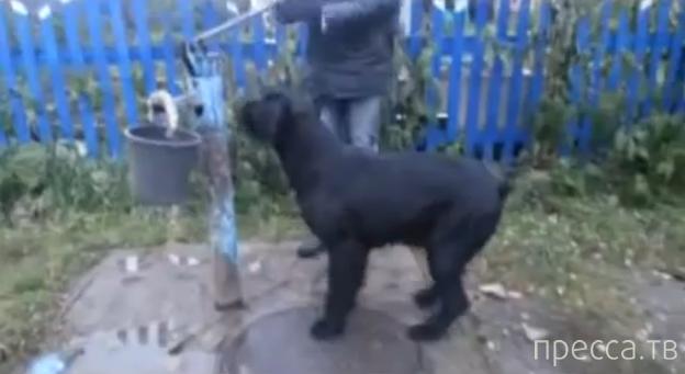 Житель Омской области научил собаку носить воду с колонки