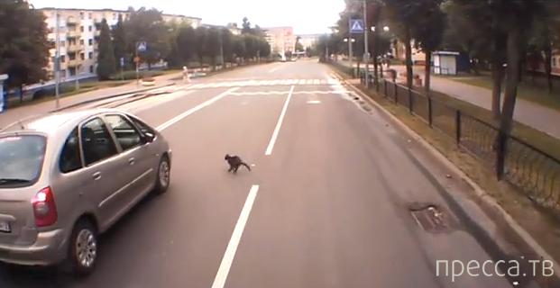 Новополоцкий котэ переходит дорогу...