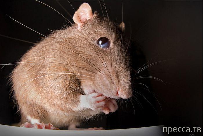 Денежная крыса