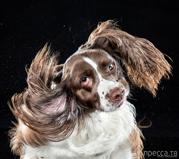 Отряхивающиеся собаки от фотографа Карли Дэвидсон (12 фото)