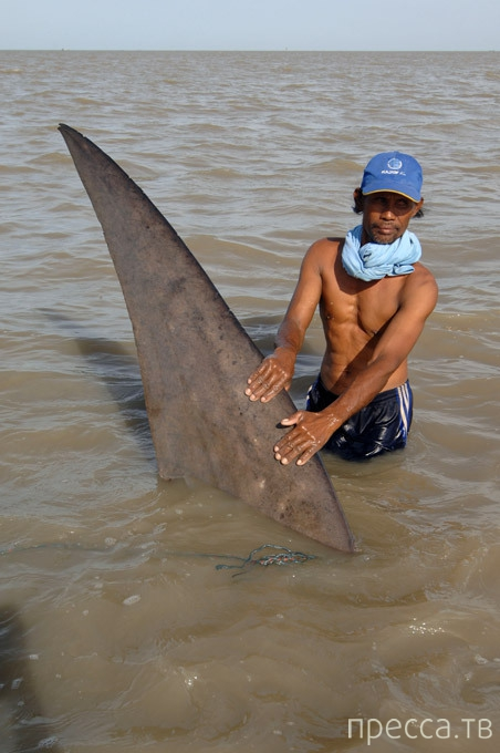 Индонезийские рыбаки поймали в сети китовую акулу (8 фото)