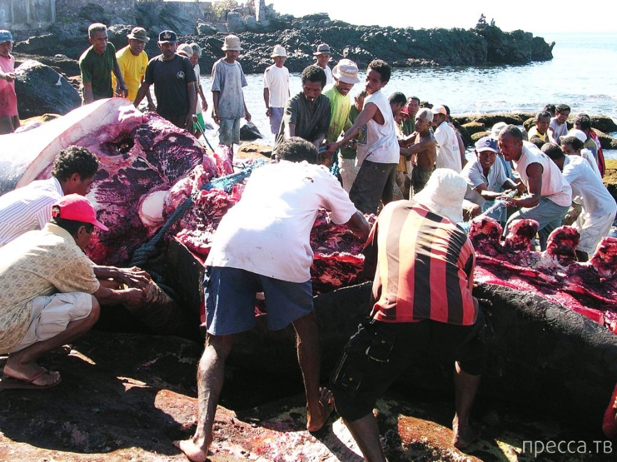 Китобойный промысел на островах Лембата в Индонезии (19 фото)