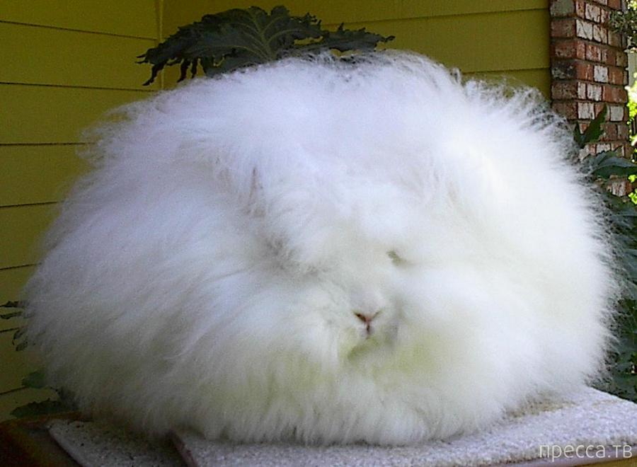 Милые пушистики - ангорские кролики (8 фото)