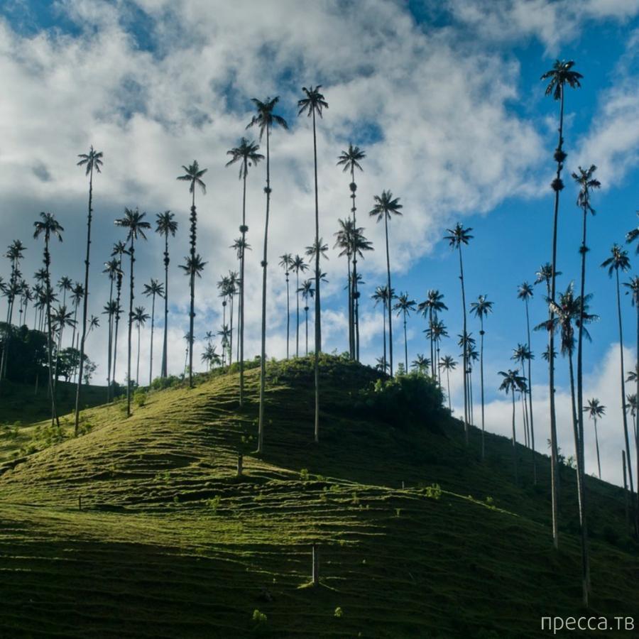 Колумбия. Кокора – долина уникальных пальм (12 фото)